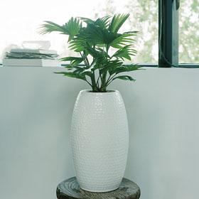 Verdeesvida livistona palmera abanico - Planta interior palmera ...