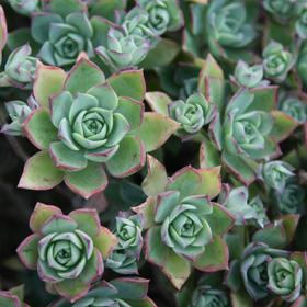 Verdeesvida echeveria for Plantas crasas interior