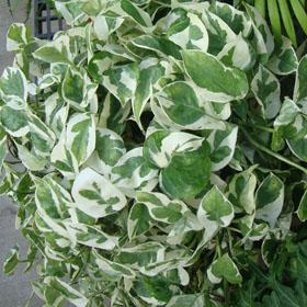 verdeesvida    Fichas de plantas 2e8306ce080
