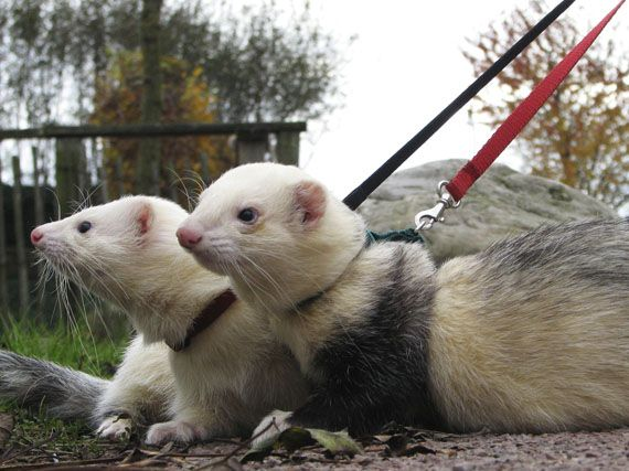 ferret on steroids sold as dog