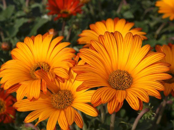 verdeesvida :: margaritas, las reinas del jardín