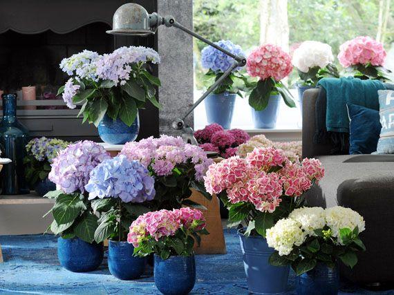 Como cuidar una hortensia de exterior best curso combinar for Viveros el rosal