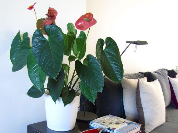 Verdeesvida anthurium la flor del amor - Plantas en el interior de la casa ...