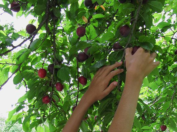 Verdeesvida c mo cuidar los frutales de hueso y pepita - Como cuidar los arboles frutales ...