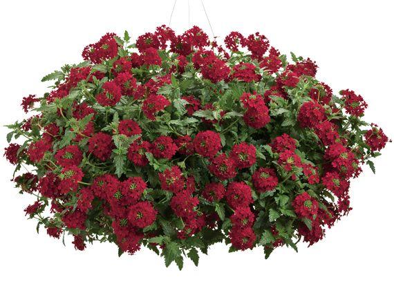 Verdeesvida plantas de flor roja el color de la pasi n - Plantas de exterior con flor ...
