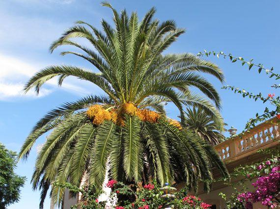 Verdeesvida palmeras el s mbolo del tr pico for Palmeras de exterior