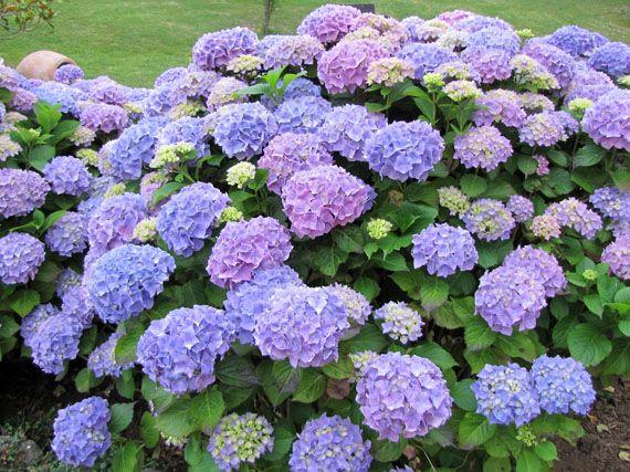 Como cuidar las hortensias de exterior dise os - Cuidado de las hortensias ...