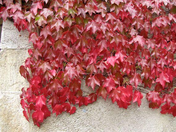 Verdeesvida trepadoras para cubrir muros y fachadas for Plantas trepadoras para muros