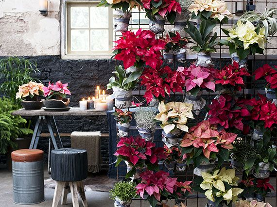 Poinsettias: no solo para la decoración navideña