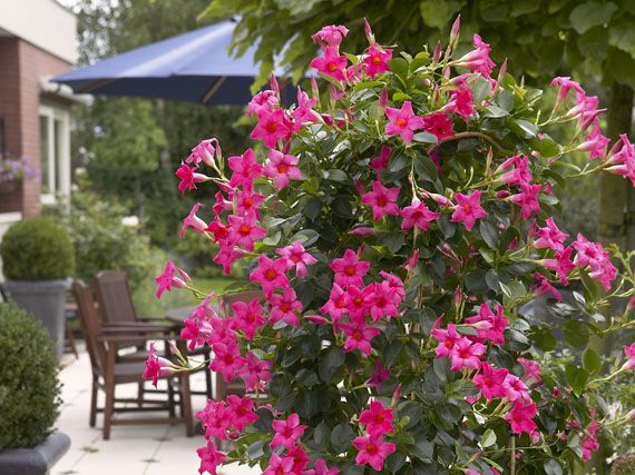 Verdeesvida miles de flores para el verano - Plantas para macetas exterior resistentes ...