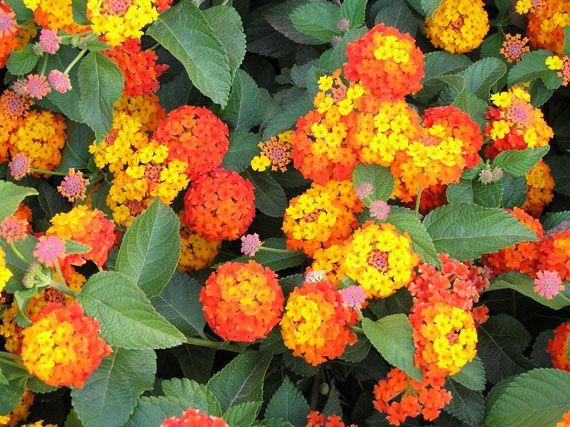 Verdeesvida lantanas mucho sol poca agua - Plantas de exterior con flor ...