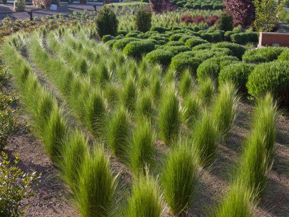 cistusxflorentinusprostrate6 06e arbustos para jard n