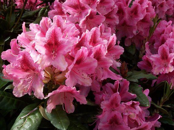 Verdeesvida azaleas y rododendros viva el color - Cuidado de azaleas en interior ...