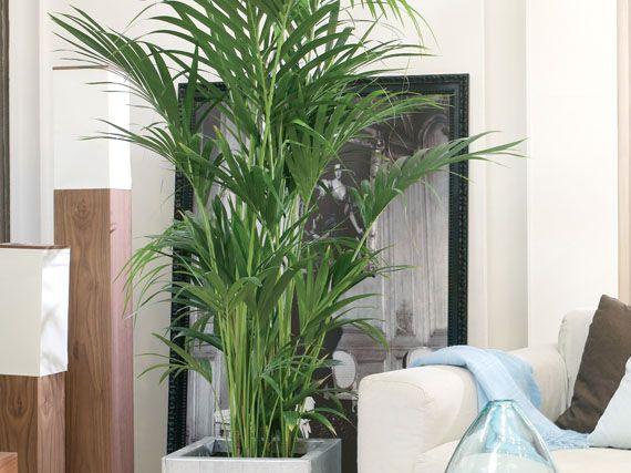 Verdeesvida qu les pasa a tus palmeras - Enfermedades de las plantas de interior ...