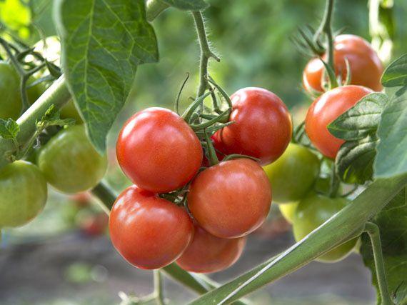 Todo para tu jard n un huerto en tu balc n for Plantar pimientos y tomates
