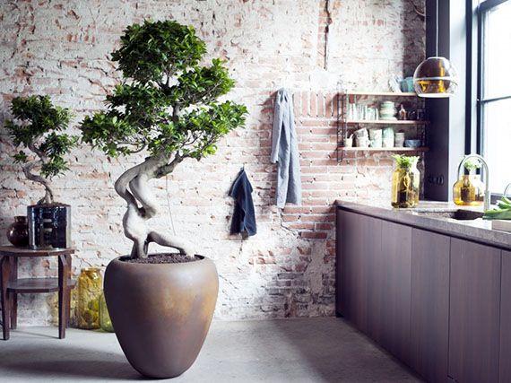 Verdeesvida El Ficus Ginseng Y Su Asombrosa Raíz