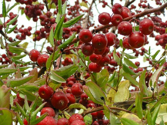 Verdeesvida frutos rojos en tiempos de cielos grises for Arbol de frutos rojos pequenos