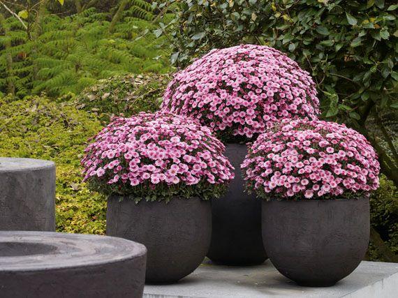 Verdeesvida crisantemos soles de oto o - Plantas para macetas exterior resistentes ...