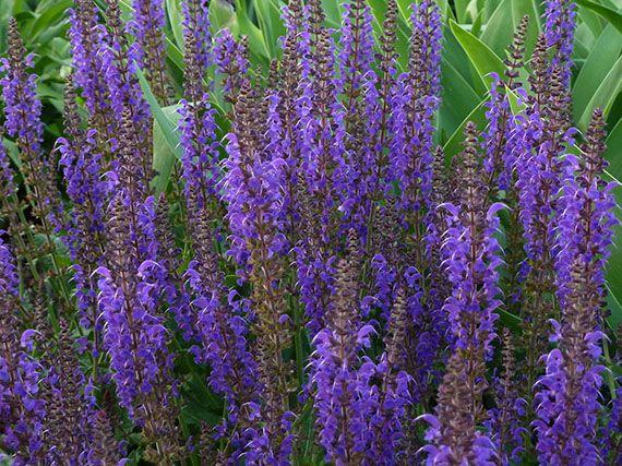 Verdeesvida salvias en flor casi todo el a o 1 parte - Plantas de exterior resistentes todo el ano ...