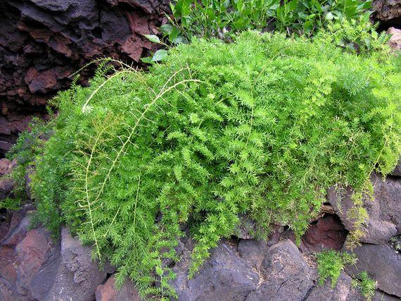 helechos son plantas: