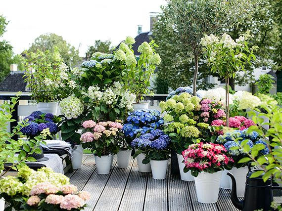 Variedades de hortensias amazing variedades de hortensias - Semillas de hortensias ...