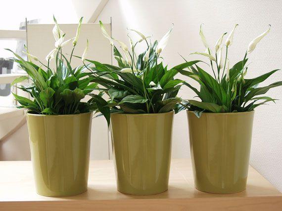 Verdeesvida las plantas de interior m s resistentes for Plantas de interior muy duraderas