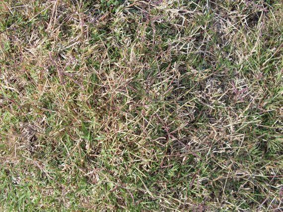 Verdeesvida c mo eliminar la grama del c sped for Zacate de invierno