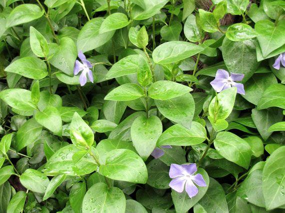 Verdeesvida plantas tapizantes una alternativa al c sped for Que planta para muro exterior vegetal