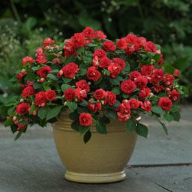 Verdeesvida plantas de flor roja el color de la pasi n - Plantas de exterior resistentes al frio ...