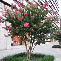 Plantas para jardineras al sol cheap cercos vivos de - Calibrachoa perenne ...