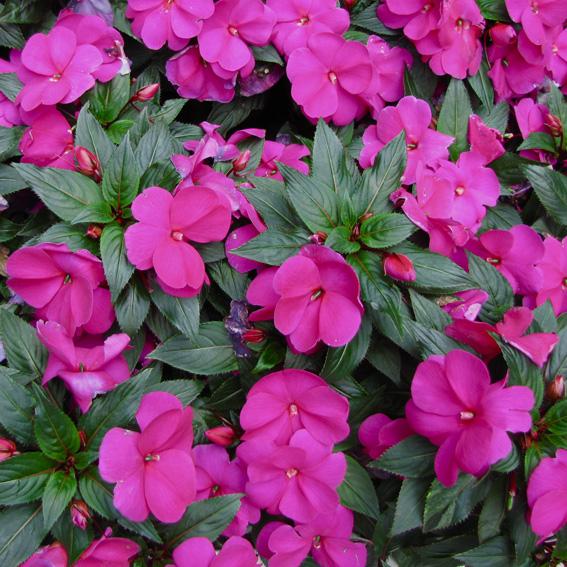 Plantas de sol directo que florecen todo el ao beautiful - Plantas de sol directo ...