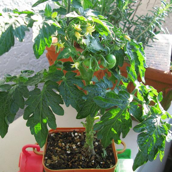 verdeesvida :: cultivar tomates en maceta
