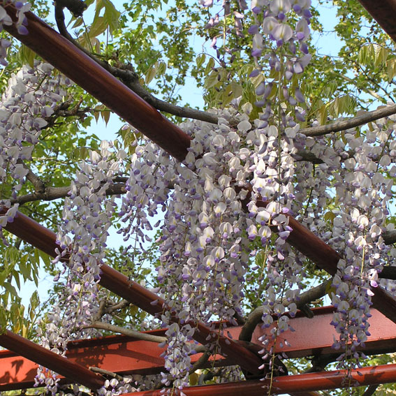 El Reino Plantae 8 plantas trepadoras para tu jardn