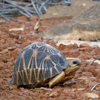 Tortuga radiada de Madagascar