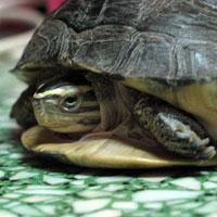 La tortuga de Caja