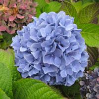 ¿Quieres hortensias azules?