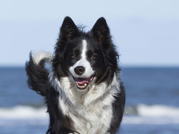 Border Collie: la inteligencia activa