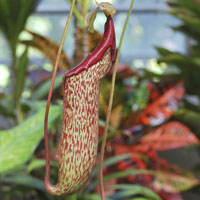 Nepenthes (Copa de mono)