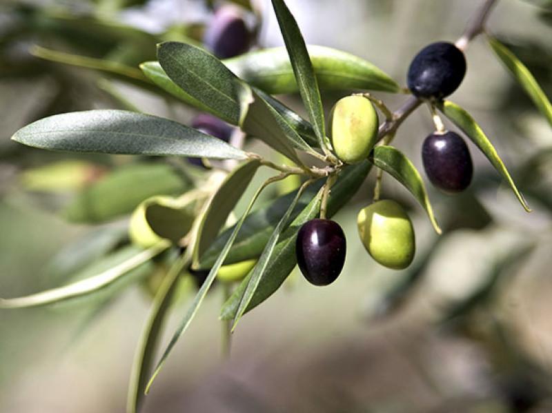 verdeesvida :: Aprovecha las aceitunas de tu olivo