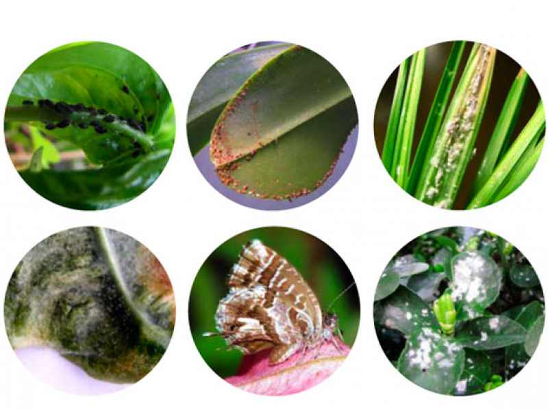 que insecto se come las hojas de los rosales