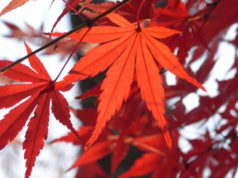 Verdeesvida Arces Japoneses Noviembre Escarlata